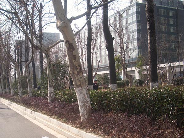中央大道隔离带绿化改造项目